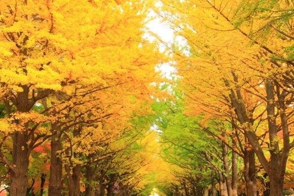 黄色いイチョウの樹木