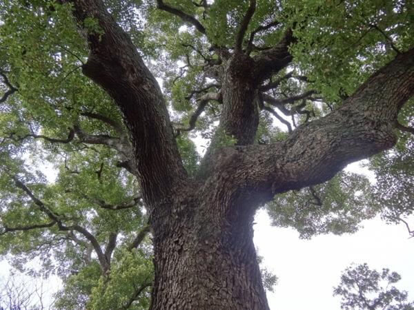 トウカエデの木