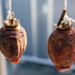 吊るされた干し柿