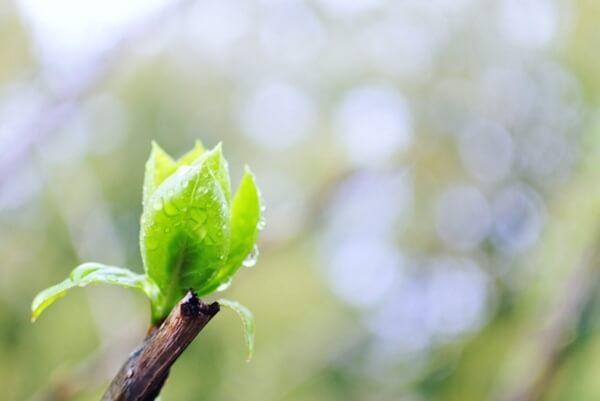 雨に濡れる新芽