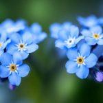 勿忘草の青い花