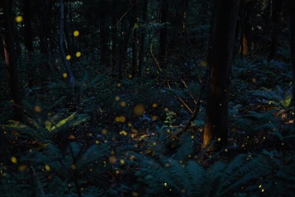 ホタルが舞う森