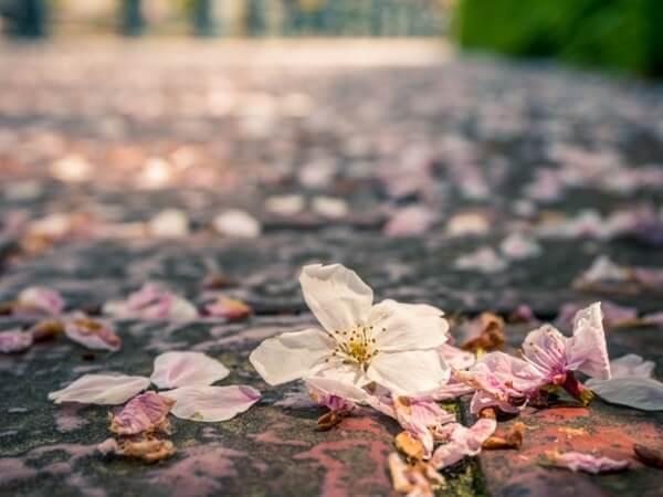 散った桜の花