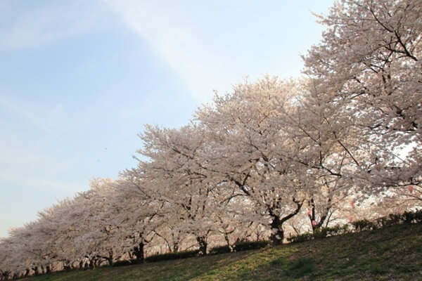 川辺に植えられた染井吉野