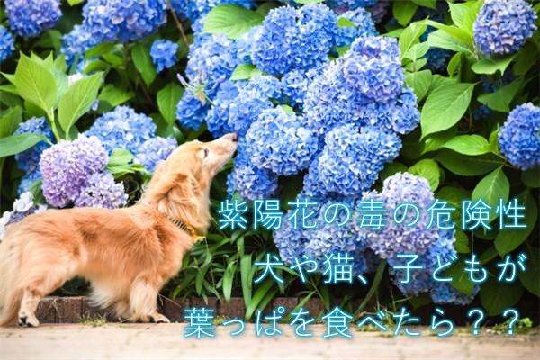 紫陽花の毒の危険性 犬や猫、子どもが葉っぱを食べたら??
