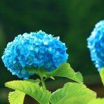 青い色の紫陽花