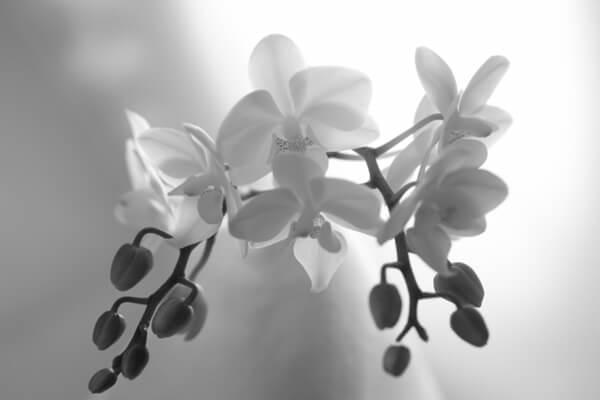 モノクロの蘭の花