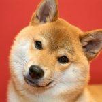 首を傾げる柴犬