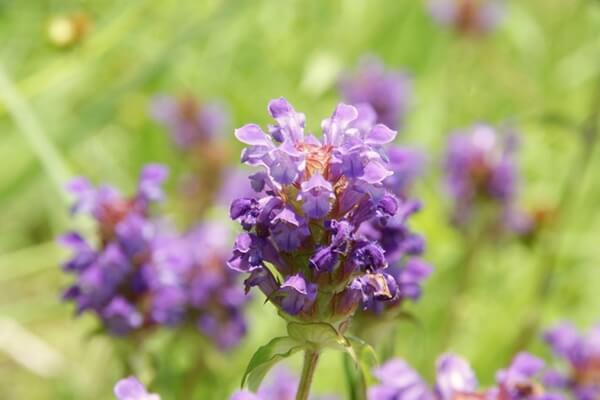 ウツボグサの紫の花