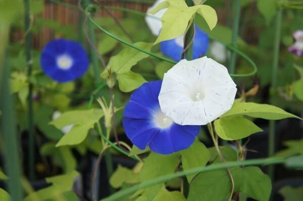 青と白の朝顔