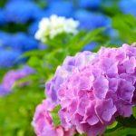 色んな色の紫陽花