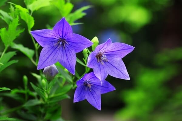 青い桔梗の花