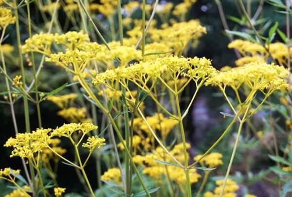 黄色い花の女郎花
