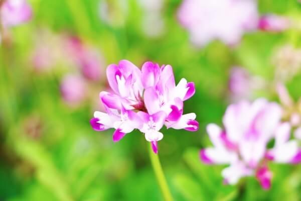 野に咲く蓮華草