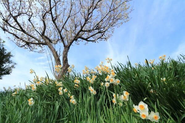水仙が咲く土手