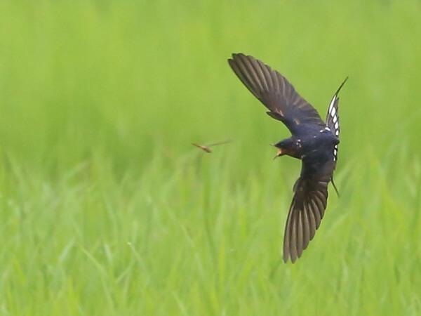 飛翔する燕