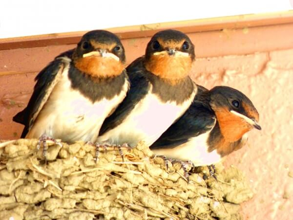燕の雛たち