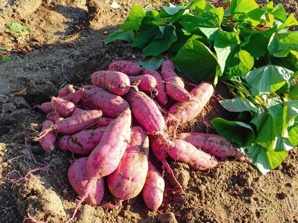 サツマイモ掘りの収穫