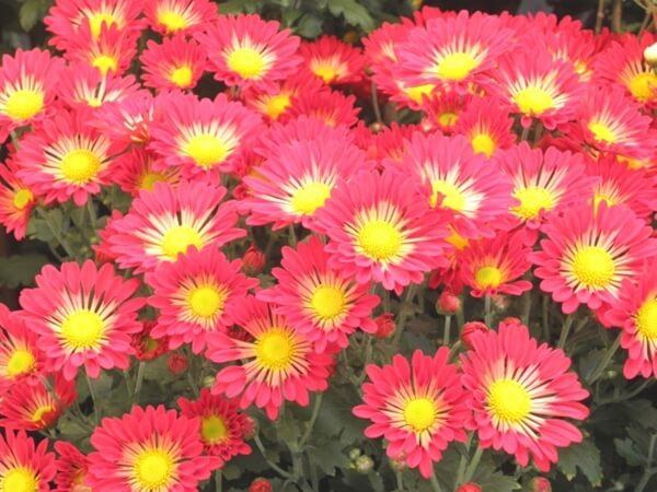 赤い菊の花