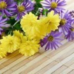 黄色と紫の菊
