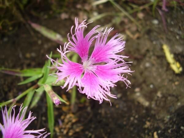ピンク色の撫子